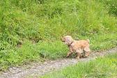 Beautiful English Cocker Spaniel runs along the path. — Stock Photo