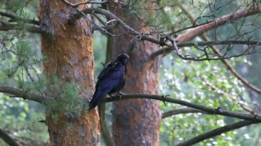 Big black crow cleans feathers on a pine tree. — Stock Video