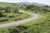 Cows on the road in the Altai Mountains. — Foto Stock