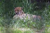 Beautiful cheetah resting in the grass. — Stock Photo