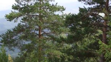 Beautiful vegetation on the hillside of Mount Tserkovka in Belokurikha. Altai Krai. Russia. — Stock Video