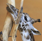 Giraffe stuck in a tree. — Foto de Stock
