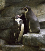 Pair of penguins on a rock. — 图库照片
