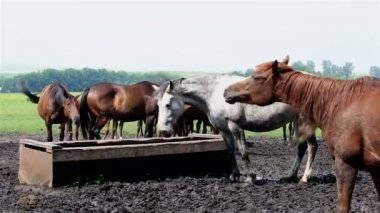 Horses nod their heads in unison (saved from annoying insects). — Vídeo de Stock