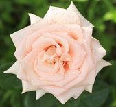 Krásná krémová růže na pozadí zelených listů. — Stock fotografie