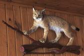 Doldurulmuş lynx. — Stok fotoğraf