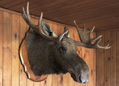 Stuffed moose head — Stock Photo