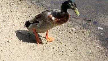 Drake beautiful walks near the pond. — Video Stock