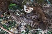 Stuffed marten prey. — Stock Photo