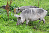 Gray domestic pig and calf. — Stock Photo