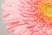 Rosa gerbera — Stockfoto