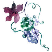 Painted watercolor grape. — Stock Vector