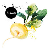 Turnip watercolor painting — Stock Vector