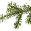 Fir tree branch — Foto de stock #12595170