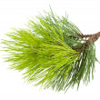 Fir tree branch — 图库照片