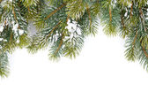 Jodła gałęzi drzewa pokryte śniegiem — Zdjęcie stockowe