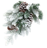 Fir tree branch with cones covered with snow — ストック写真