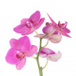 Pink orchid flowers — Stock Photo #22495107