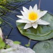Water lily — Stock Photo #30029123