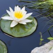 Stock Photo: Water lily