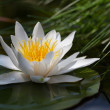 Water lily — Stock Photo #30732213