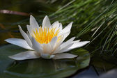 Water lily — Stock fotografie