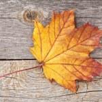 renkli sonbahar akçaağaç yaprağı — Stok fotoğraf