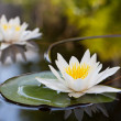 Water lily — Stock Photo #46534993