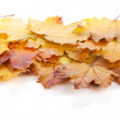 Colorful autumn maple leaves — Stock Photo #49581477
