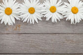 Daisy camomile flowers — Stock Photo