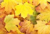 Barevné podzimní listí javor — Stock fotografie