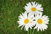 Three chamomile flowers over green grass — Stock Photo