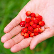 A handful of wild strawberries in a female hand — Stock Photo