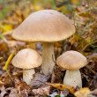 Stock Photo: Autumn forest eatable mushrooms close-up