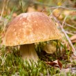 Autumn forest eatable mushroom close-up — Stock Photo