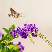 Hummingbird hawk-moth hovering over a flower (Macroglossum stell — Stock Photo