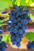 Fine bunch of fresh blue grapes close-up — Stock Photo