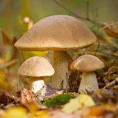 Autumn forest eatable mushrooms — Stock Photo