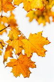Yellow autumn leaves against white background — Stock Photo