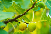 Green figs on the tree — Stock Photo