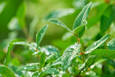 Close-up of fresh green leaves with water drops after rain — Stock Photo