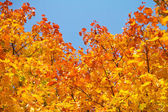 Yellow autumnal maple leaves background — Stockfoto