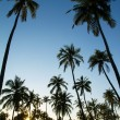 Palm trees silhouette at the sunset, India — Stock fotografie