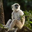 Royalty-Free Stock Photo: Blace faced monkey, grey langur sitting on a tree in Rishikesh,