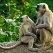 Stock Photo: Blace faced monkeys, grey langurs sitting on a tree in Rishikesh