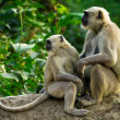 Blace faced monkeys, grey langurs sitting on a tree in Rishikesh — Stock Photo