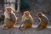 Three rhesus macaque monkeys (Macaca mulatta) — Stock Photo