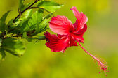 Red flower, Hibiscus rosa sinensis close-up — Stock Photo