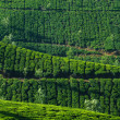 Beautiful fresh green tea plantation in Munnar, Kerala, India — Stock Photo