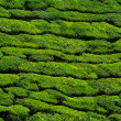 Beautiful green tea plantation background — Foto de Stock